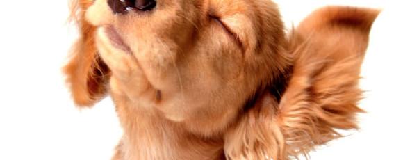 Saiba como limpar a orelha do seu cão corretamente